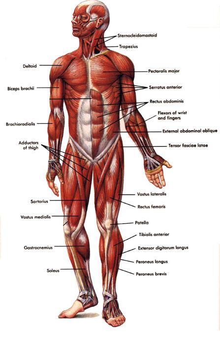 anteriorview-muscleman