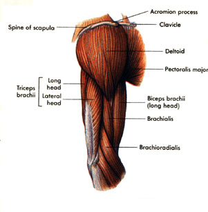 upper-arm-muscles